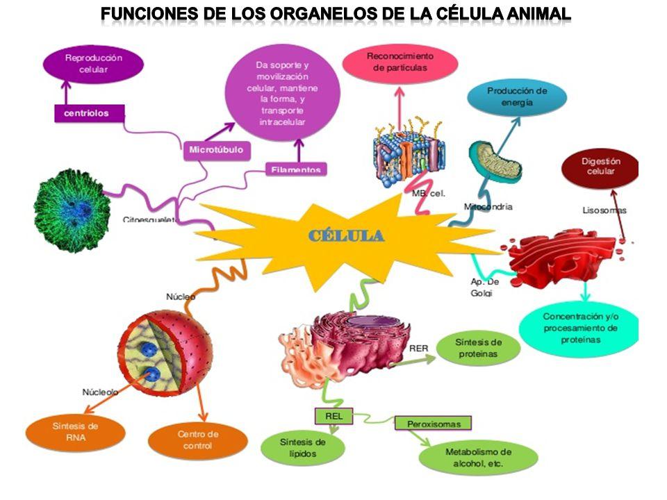 Funciones de los organelos de la célula animal