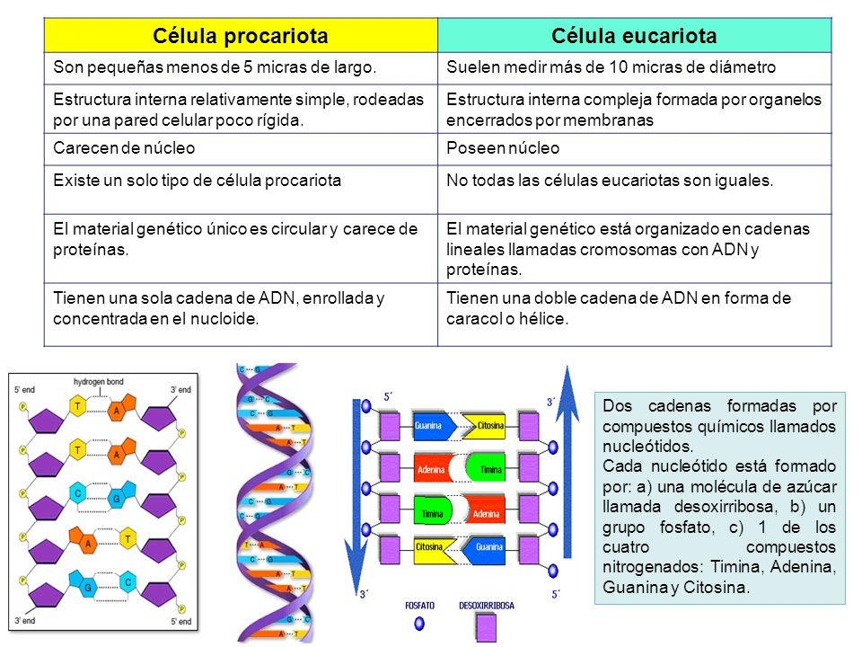 Célula procariota Célula eucariota
