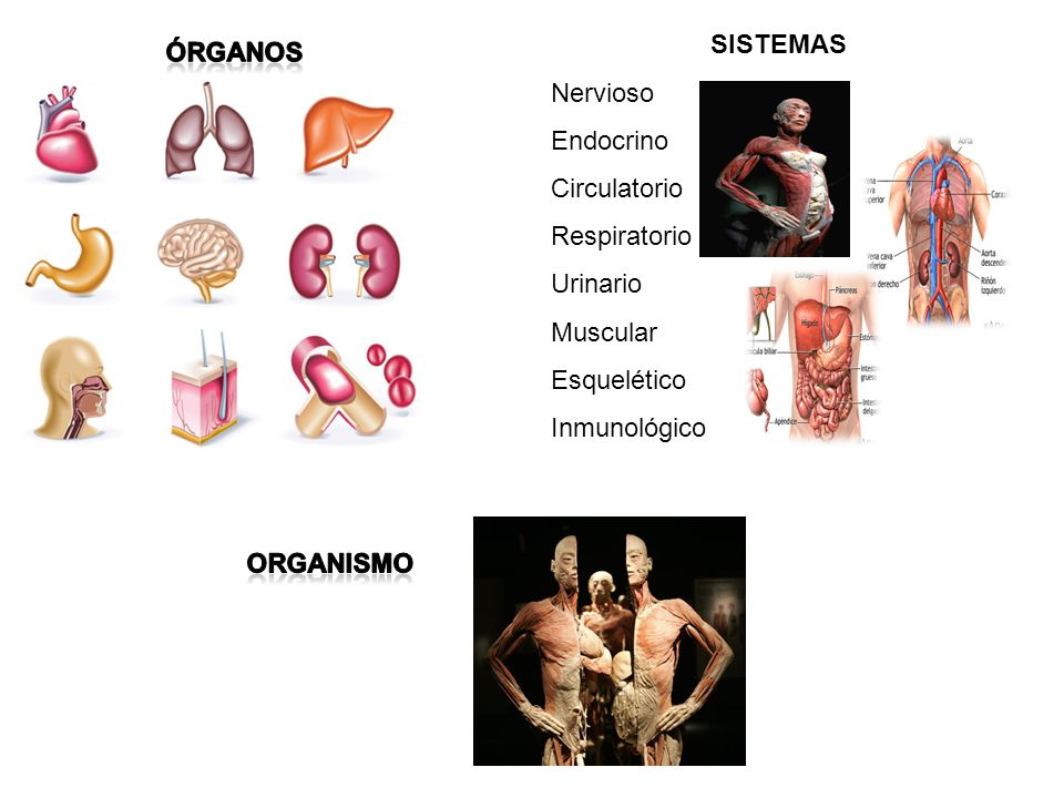SISTEMAS Nervioso. Endocrino. Circulatorio. Respiratorio. Urinario. Muscular. Esquelético. Inmunológico.