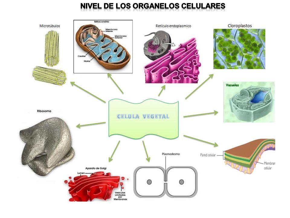 Nivel de los organelos celulares