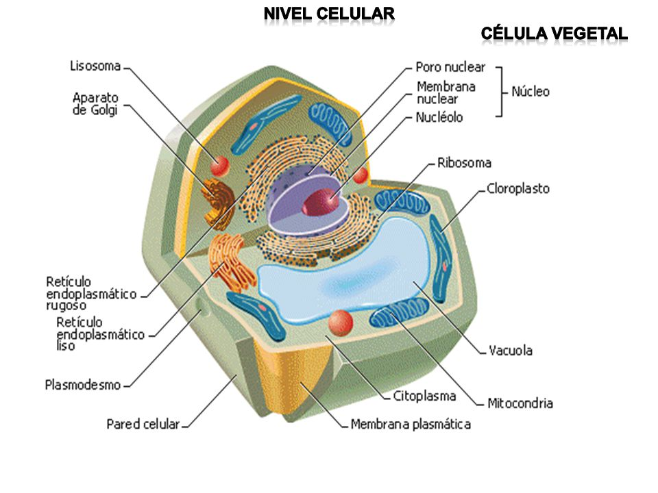 Nivel celular Célula vegetal