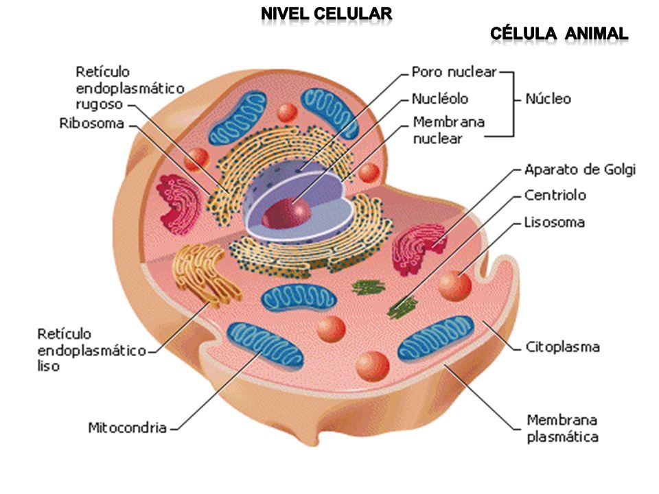 Nivel celular Célula animal