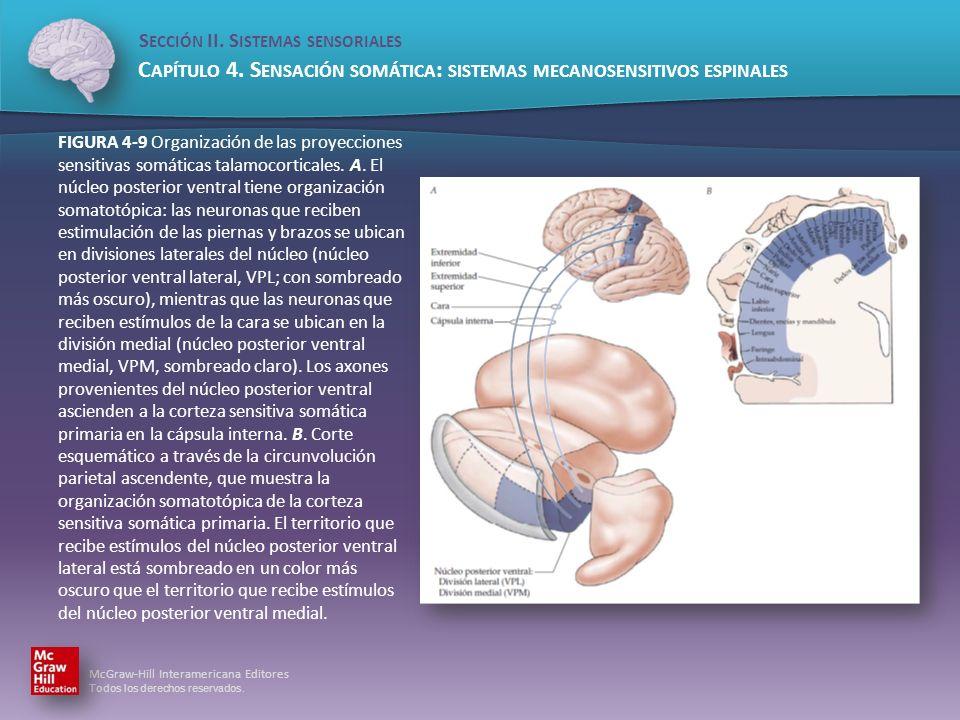 FIGURA 4-9 Organización de las proyecciones sensitivas somáticas talamocorticales.