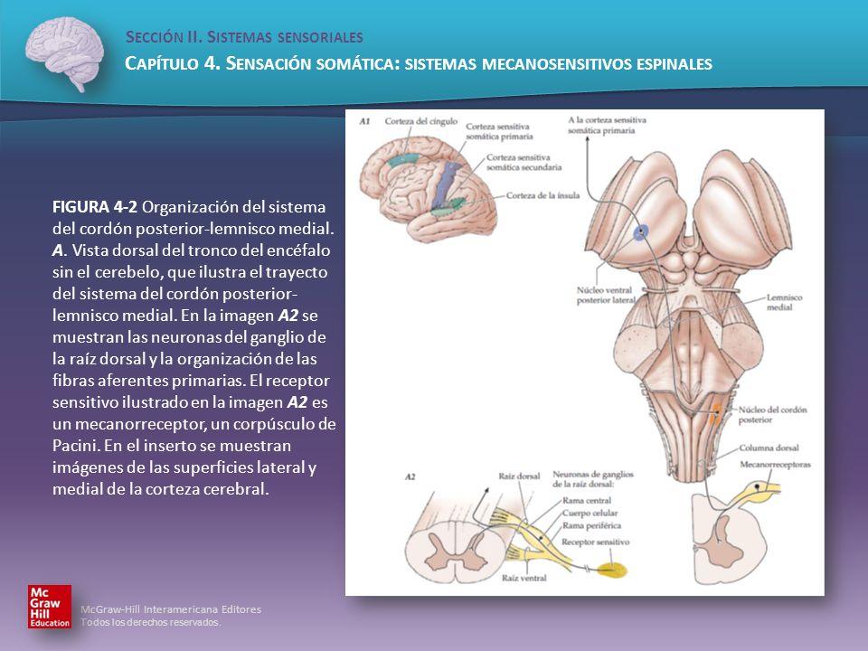 FIGURA 4-2 Organización del sistema del cordón posterior-lemnisco medial.