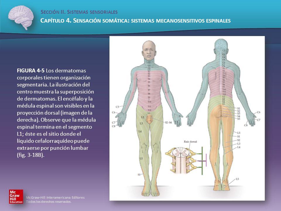 FIGURA 4-5 Los dermatomas corporales tienen organización segmentaria