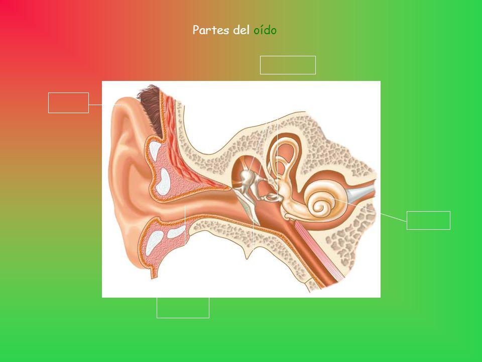Partes del oído Tímpano