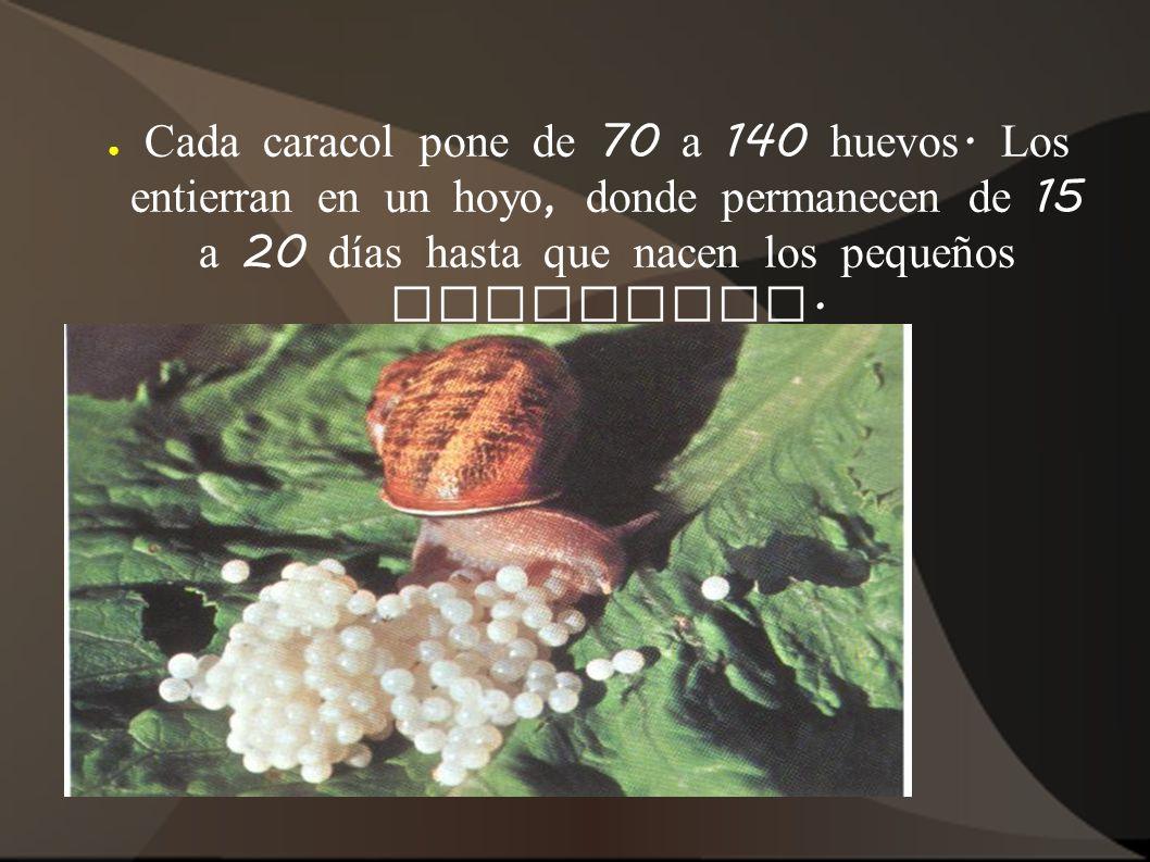 Cada caracol pone de 70 a 140 huevos