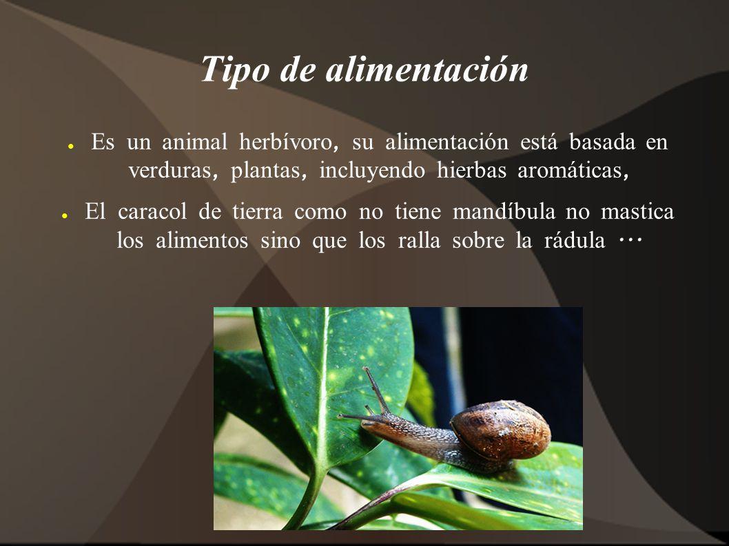 Tipo de alimentación Es un animal herbívoro, su alimentación está basada en verduras, plantas, incluyendo hierbas aromáticas,