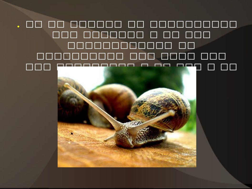 En la cabeza se encuentran las antenas y en sus extremidades se encuentran los ojos que son sensibles a la luz y al tacto.