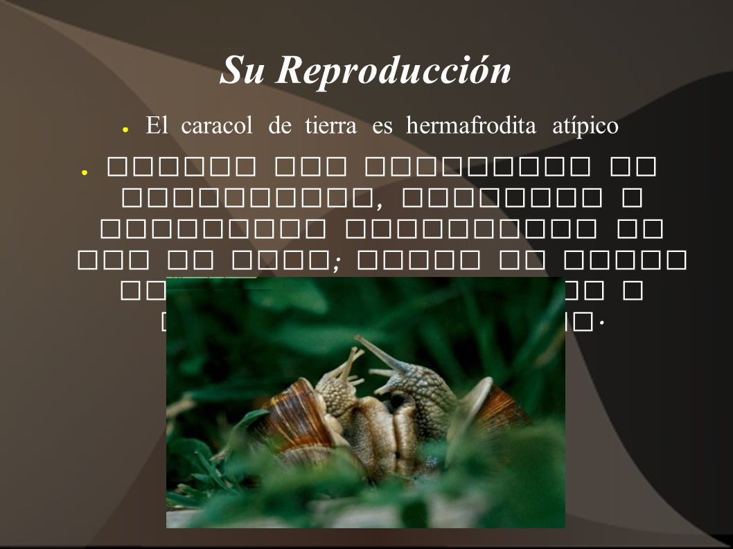 El caracol de tierra es hermafrodita atípico
