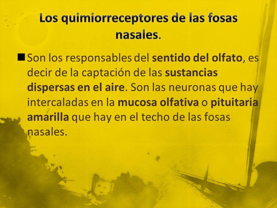 Los quimiorreceptores de las fosas nasales.