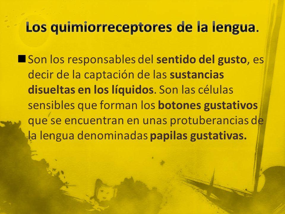 Los quimiorreceptores de la lengua.