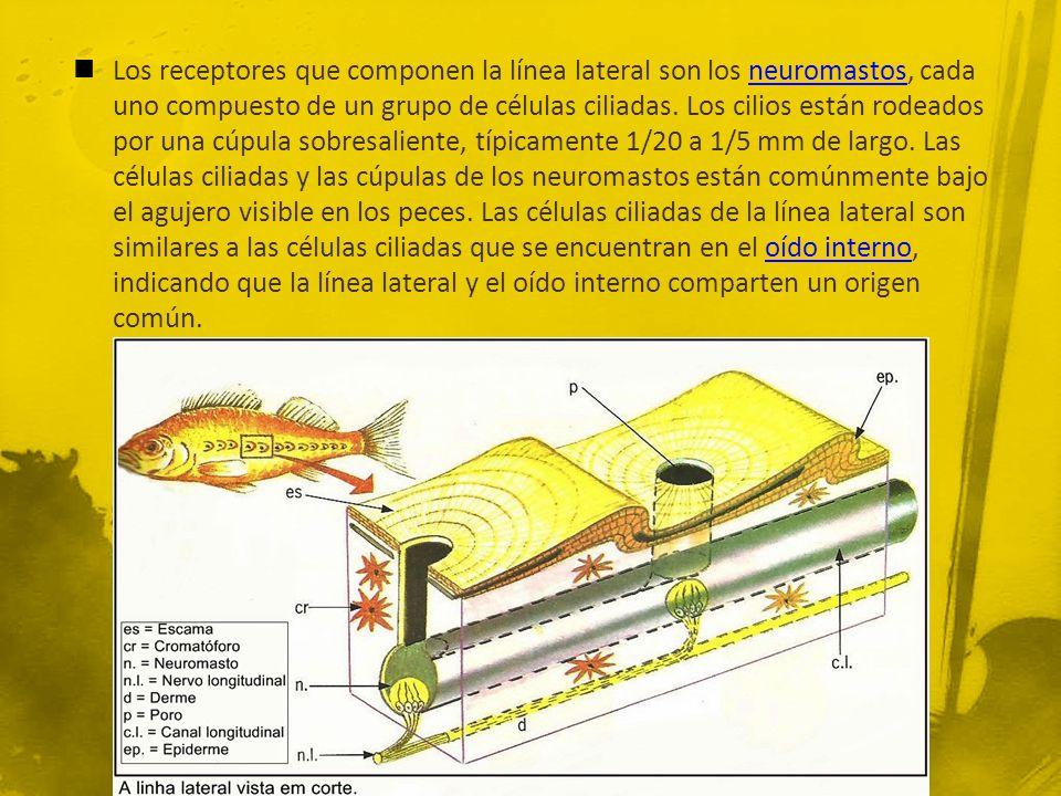 Los receptores que componen la línea lateral son los neuromastos, cada uno compuesto de un grupo de células ciliadas.