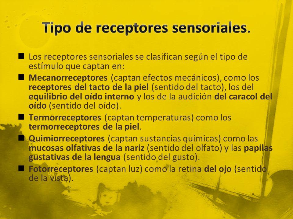 Tipo de receptores sensoriales.