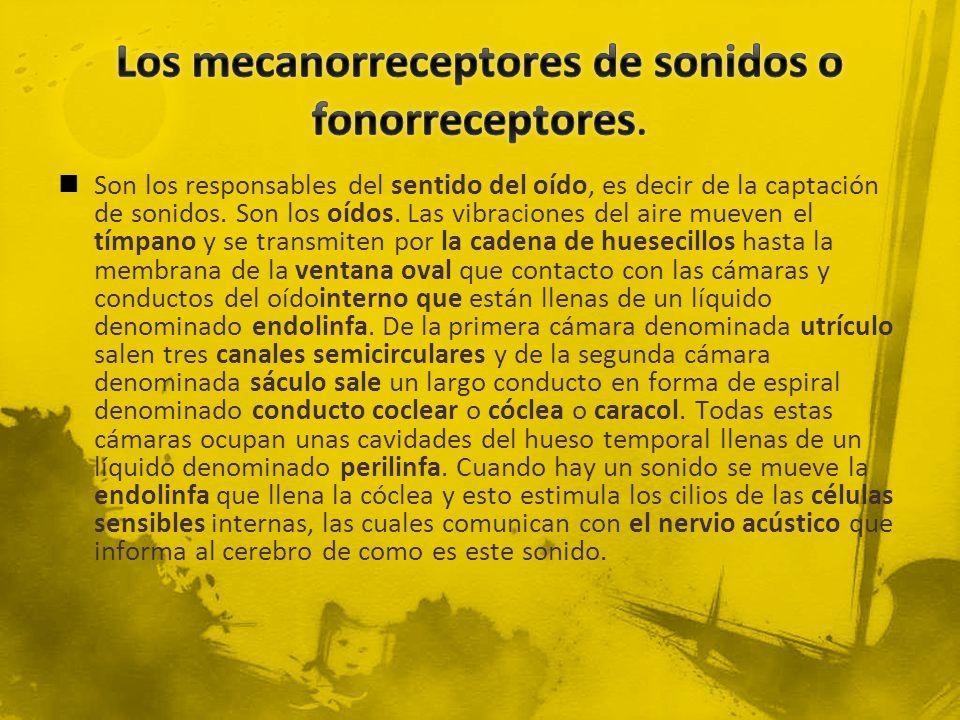 Los mecanorreceptores de sonidos o fonorreceptores.