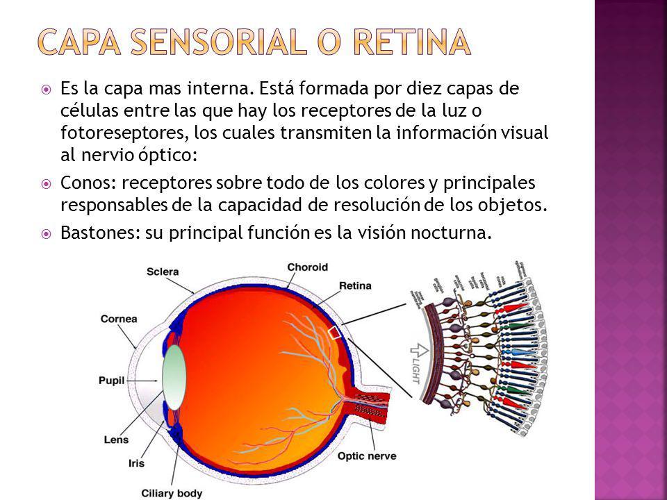 Capa sensorial o retina