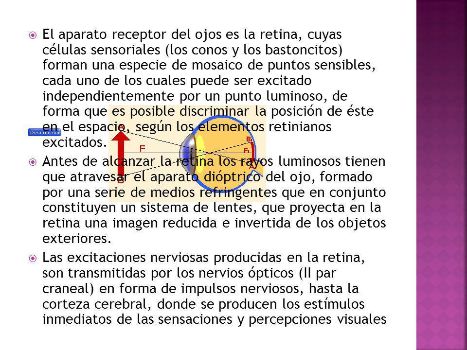 El aparato receptor del ojos es la retina, cuyas células sensoriales (los conos y los bastoncitos) forman una especie de mosaico de puntos sensibles, cada uno de los cuales puede ser excitado independientemente por un punto luminoso, de forma que es posible discriminar la posición de éste en el espacio, según los elementos retinianos excitados.