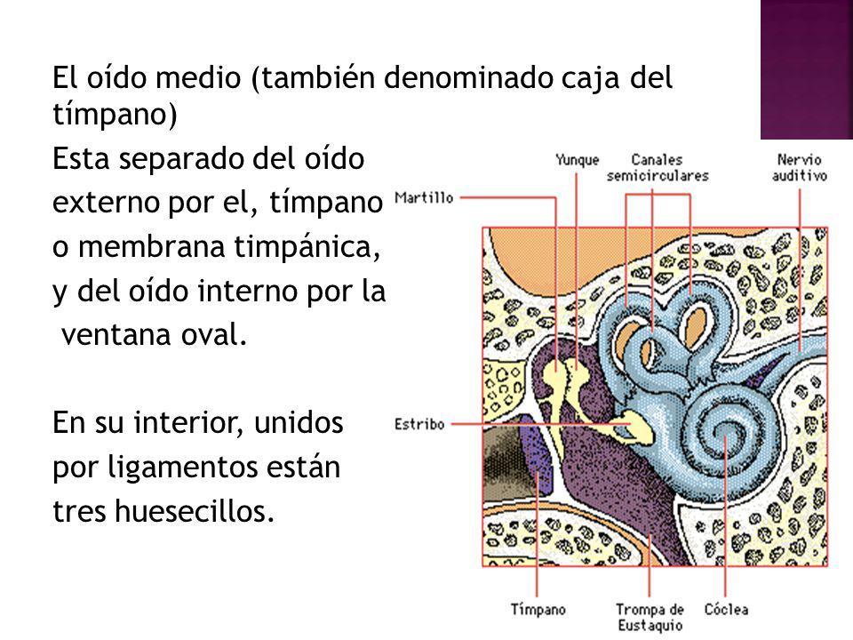 El oído medio (también denominado caja del tímpano) Esta separado del oído externo por el, tímpano o membrana timpánica, y del oído interno por la ventana oval.
