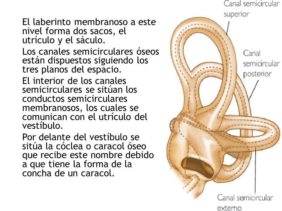 El laberinto membranoso a este nivel forma dos sacos, el utrículo y el sáculo.