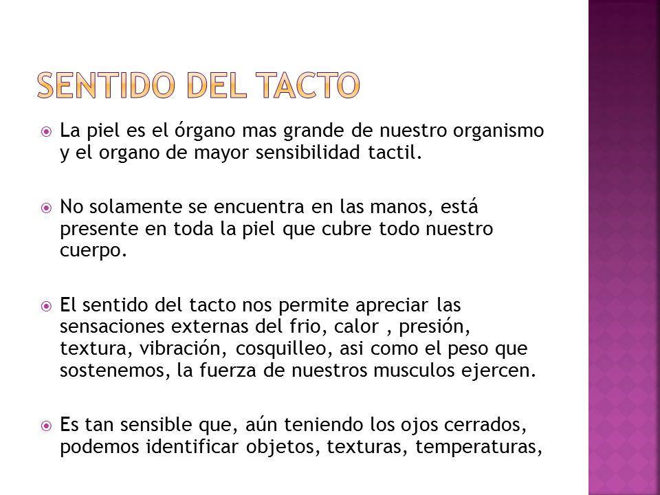 SENTIDO DEL TACTO La piel es el órgano mas grande de nuestro organismo y el organo de mayor sensibilidad tactil.