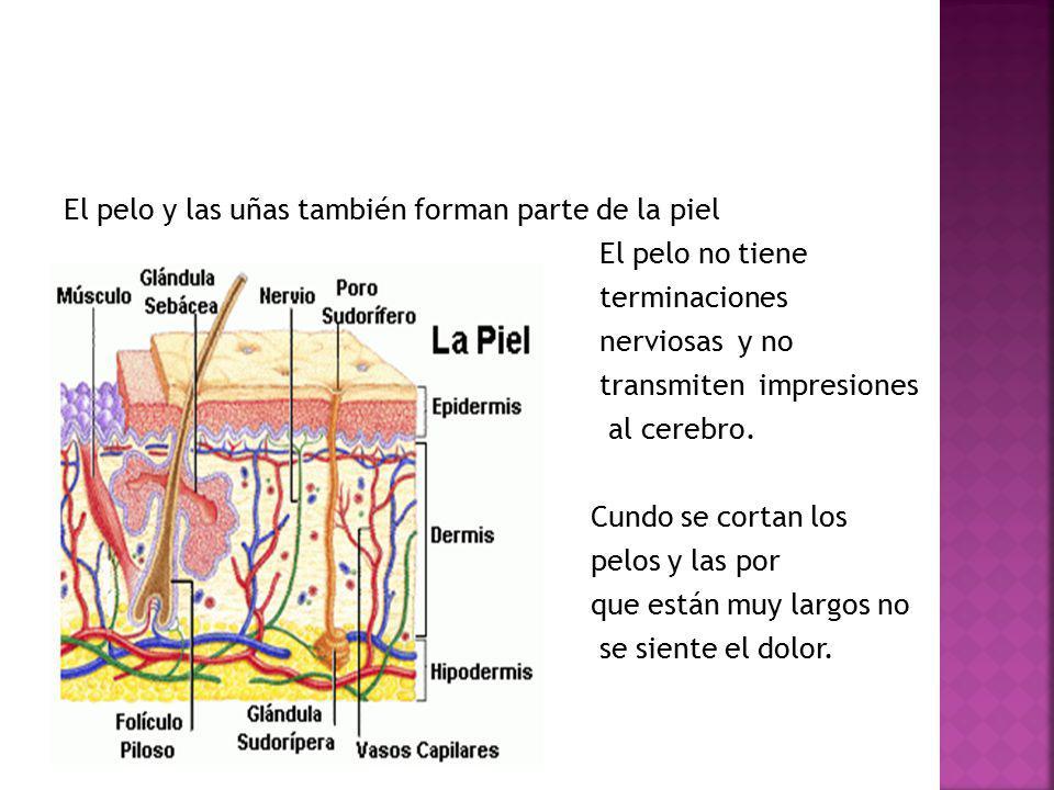 El pelo y las uñas también forman parte de la piel El pelo no tiene terminaciones nerviosas y no transmiten impresiones al cerebro.