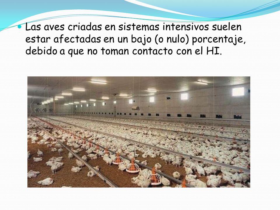 Las aves criadas en sistemas intensivos suelen estar afectadas en un bajo (o nulo) porcentaje, debido a que no toman contacto con el HI.