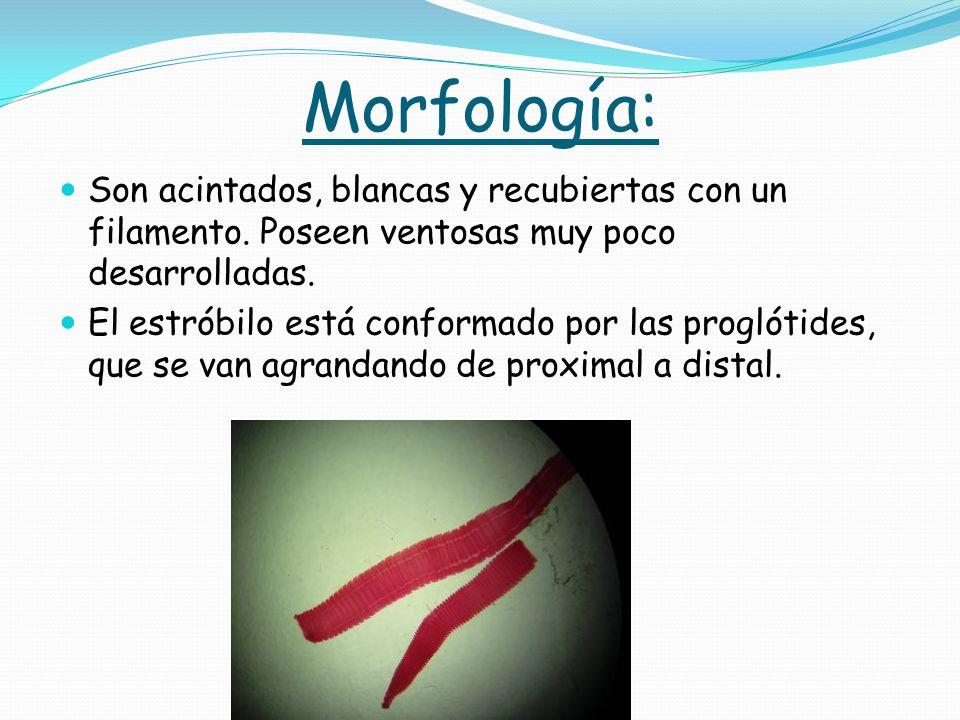Morfología: Son acintados, blancas y recubiertas con un filamento. Poseen ventosas muy poco desarrolladas.