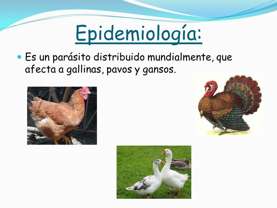 Epidemiología: Es un parásito distribuido mundialmente, que afecta a gallinas, pavos y gansos.
