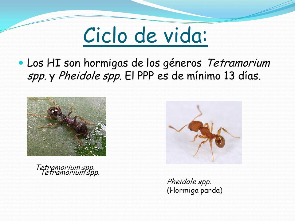 Ciclo de vida: Los HI son hormigas de los géneros Tetramorium spp. y Pheidole spp. El PPP es de mínimo 13 días.