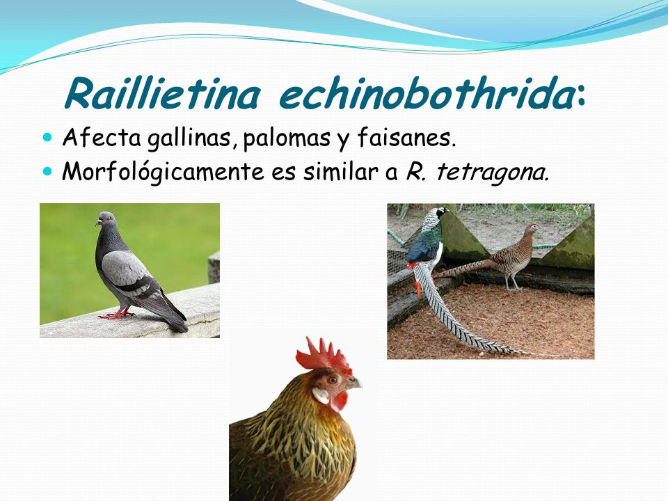 Raillietina echinobothrida: