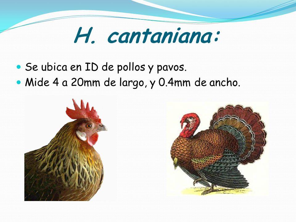 H. cantaniana: Se ubica en ID de pollos y pavos.