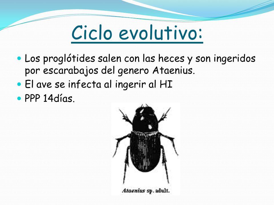 Ciclo evolutivo: Los proglótides salen con las heces y son ingeridos por escarabajos del genero Ataenius.