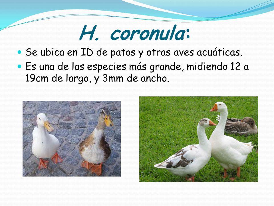 H. coronula: Se ubica en ID de patos y otras aves acuáticas.