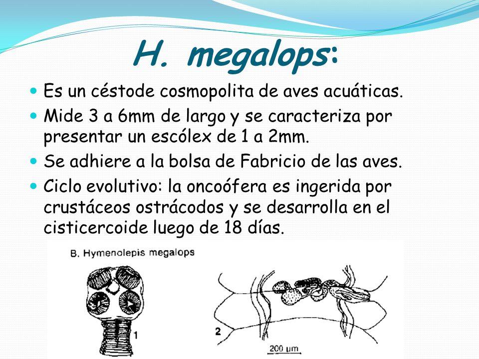 H. megalops: Es un céstode cosmopolita de aves acuáticas.