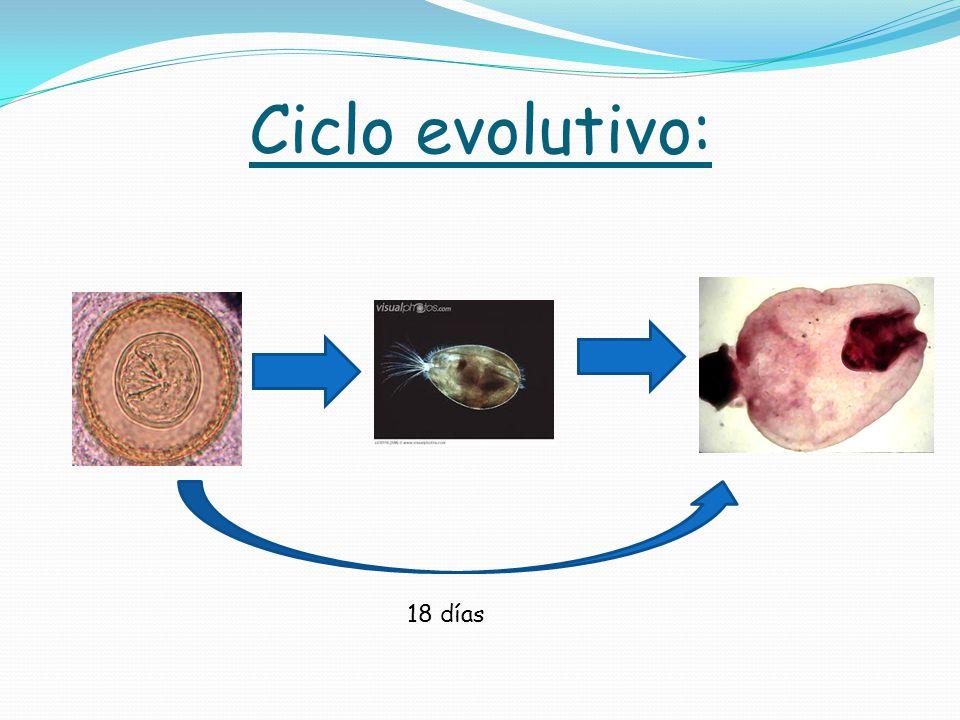 Ciclo evolutivo: 18 días