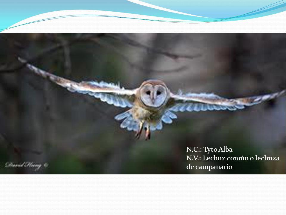 N.C.: Tyto Alba N.V.: Lechuz común o lechuza de campanario