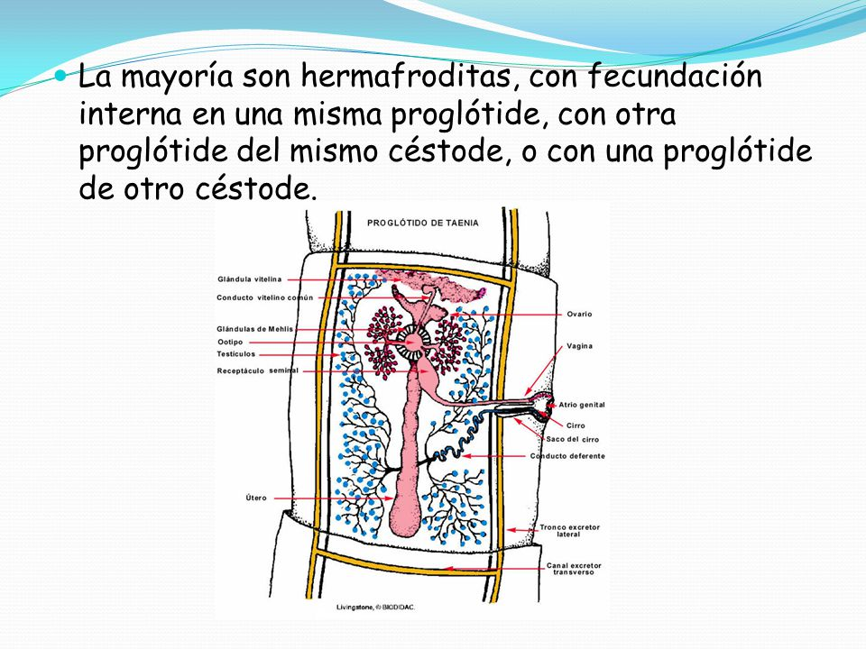 La mayoría son hermafroditas, con fecundación interna en una misma proglótide, con otra proglótide del mismo céstode, o con una proglótide de otro céstode.