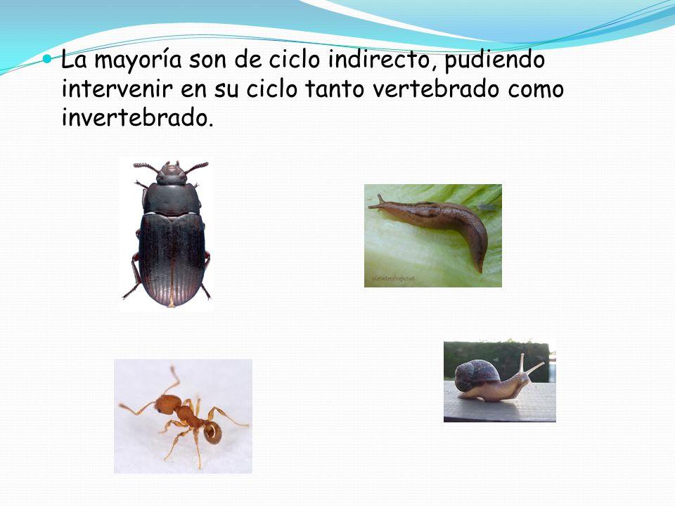 La mayoría son de ciclo indirecto, pudiendo intervenir en su ciclo tanto vertebrado como invertebrado.
