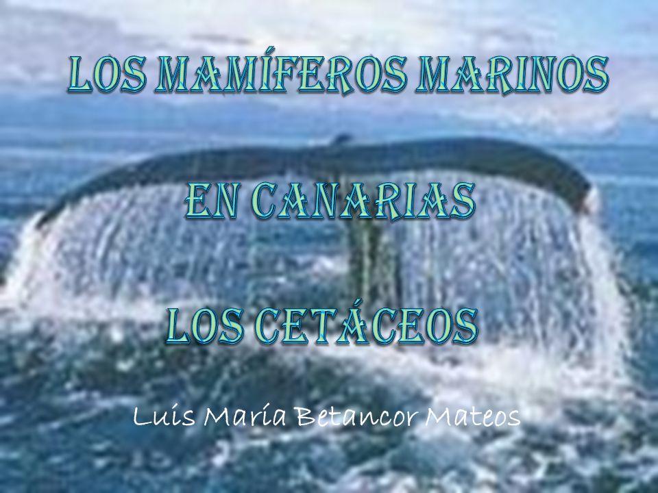 Los Mamíferos Marinos en Canarias Los Cetáceos