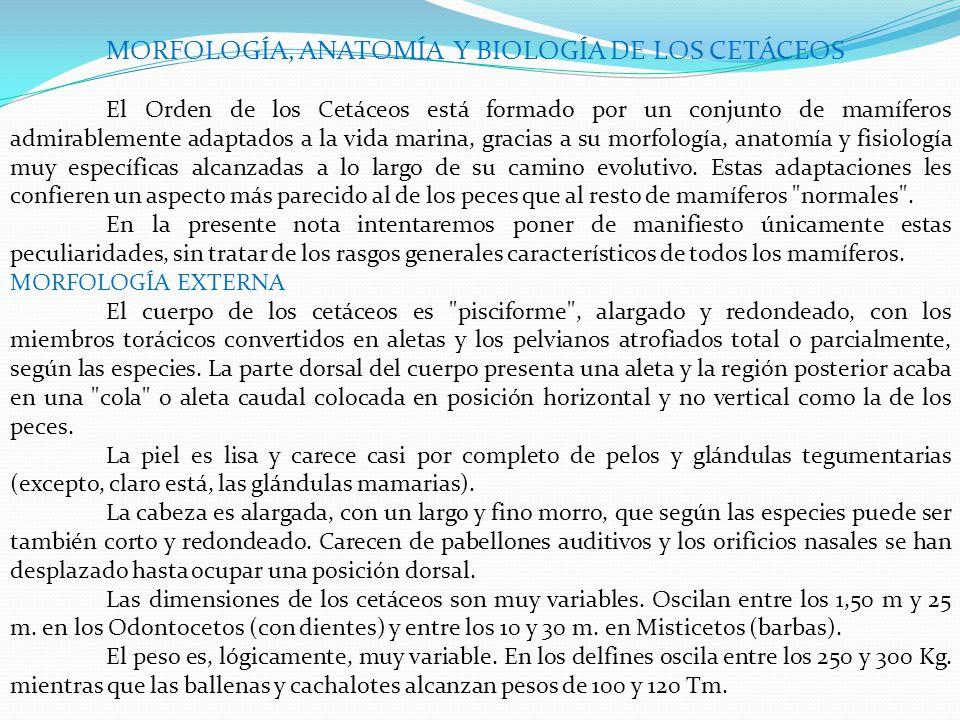 MORFOLOGÍA, ANATOMÍA Y BIOLOGÍA DE LOS CETÁCEOS