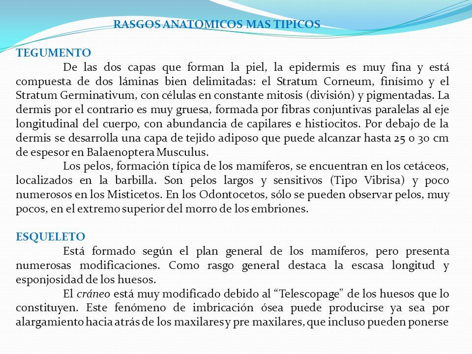 RASGOS ANATOMICOS MAS TIPICOS