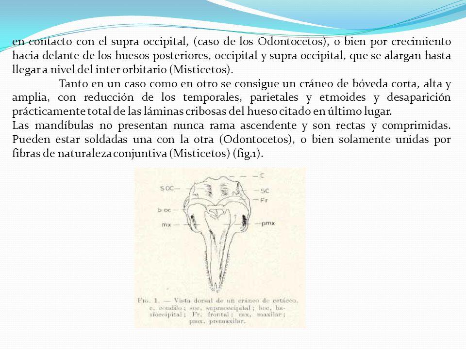 en contacto con el supra occipital, (caso de los Odontocetos), o bien por crecimiento hacia delante de los huesos posteriores, occipital y supra occipital, que se alargan hasta llegar a nivel del inter orbitario (Misticetos).