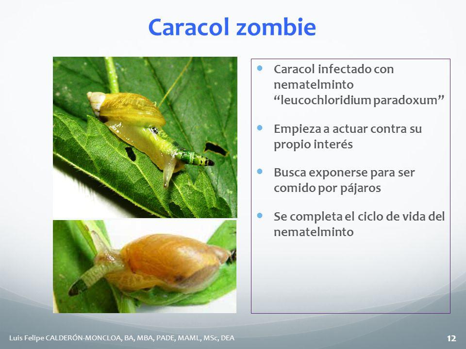 Caracol zombie Caracol infectado con nematelminto leucochloridium paradoxum Empieza a actuar contra su propio interés.