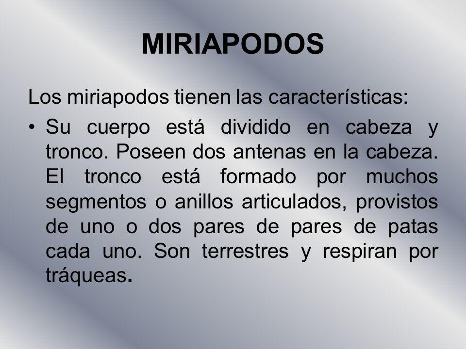 MIRIAPODOS Los miriapodos tienen las características: