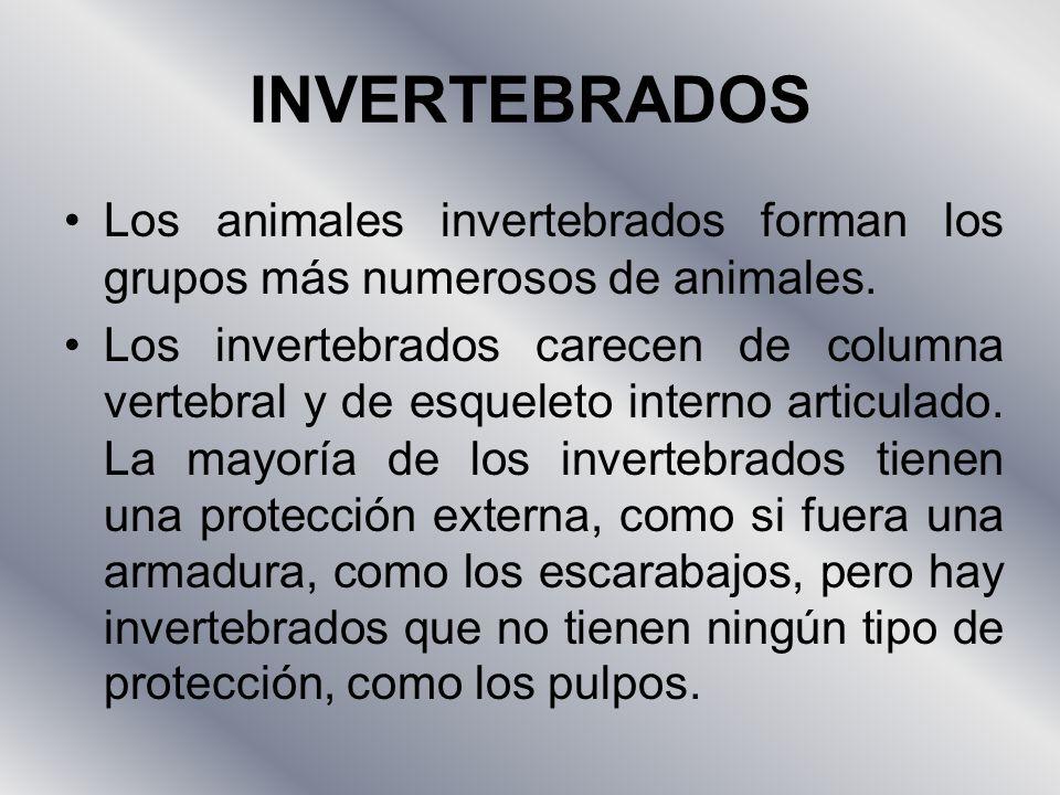 INVERTEBRADOS Los animales invertebrados forman los grupos más numerosos de animales.