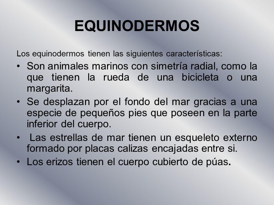 EQUINODERMOS Los equinodermos tienen las siguientes características: