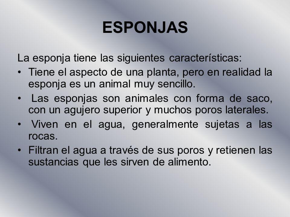 ESPONJAS La esponja tiene las siguientes características: