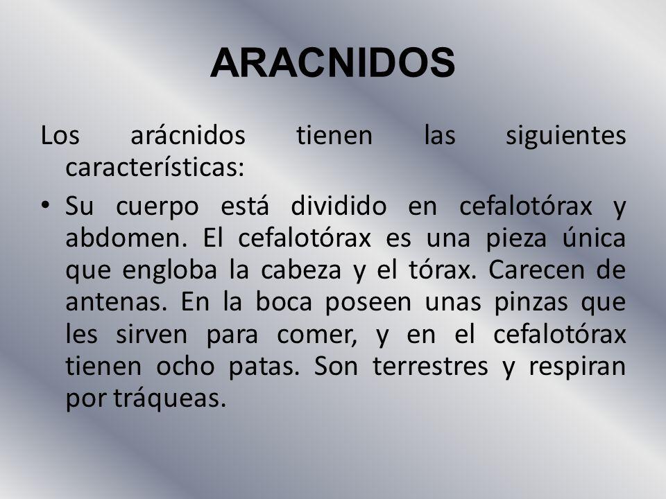 ARACNIDOS Los arácnidos tienen las siguientes características: