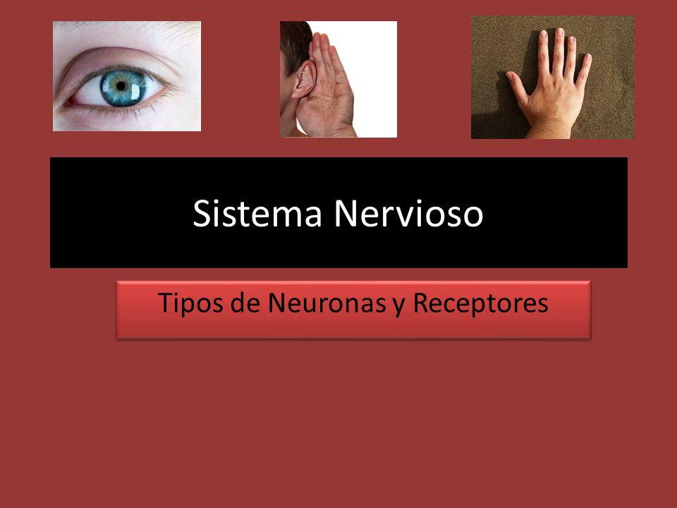 Tipos de Neuronas y Receptores
