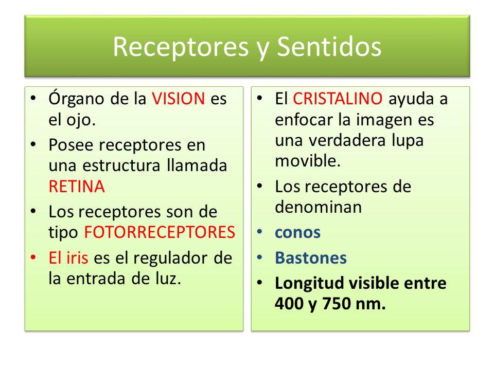 Receptores y Sentidos Órgano de la VISION es el ojo.